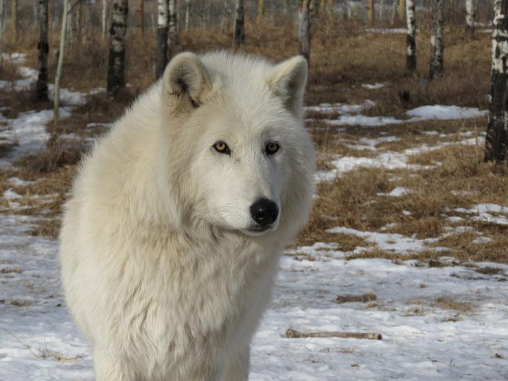 loup arctique fiche animaux