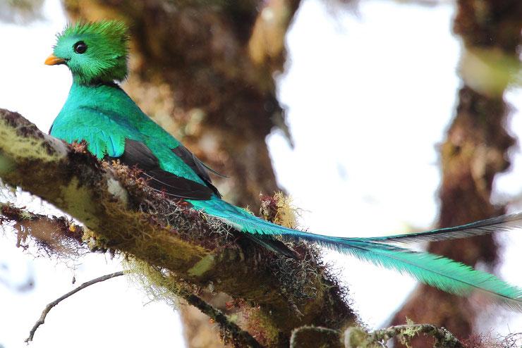 quetzal resplendissant fiche oiseaux animaux