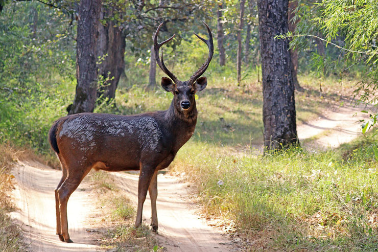 sambar cerf cervides fiche animaux asie  taille poids alimentation reproduction