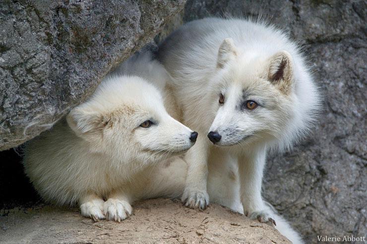 animaux canada quebec renard polaire arctique arctic fox
