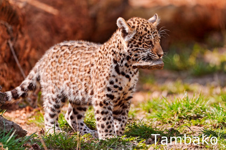 bebe leopard panthere animaux mignons cute cub kittens animals baby