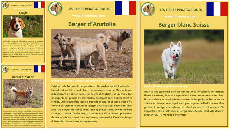 fiche animaux animal de compagnie  chien à telecharger et a imprimer pdf comportement origine caractere berger blanc suisse islande anatolie beagle