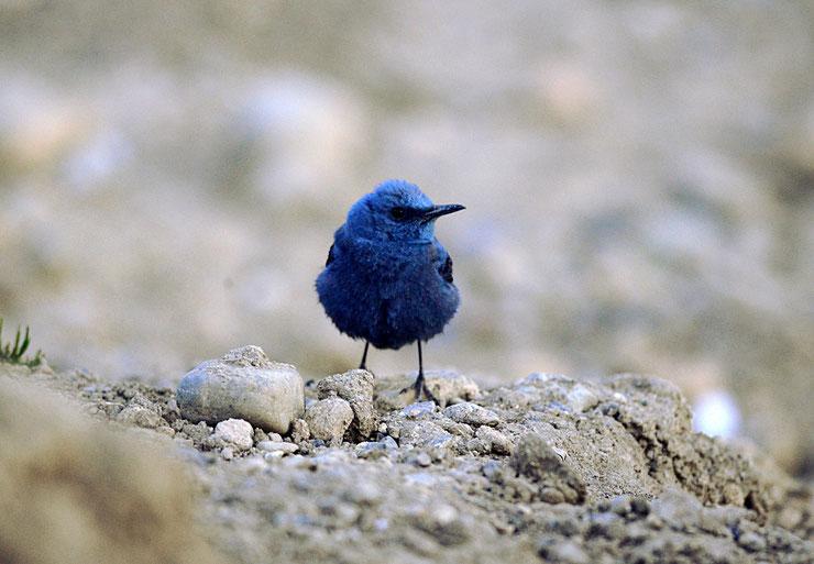 grandal bleu fiche oiseau comportement taille poids habitat alimentation reproduction