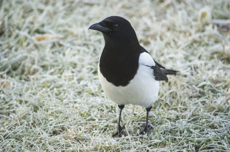 pie bavarde fiche animaux oiseaux eurasian magpie animal facts bird