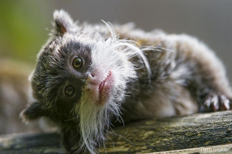 liste des animaux d'amazonie tamarin empereur