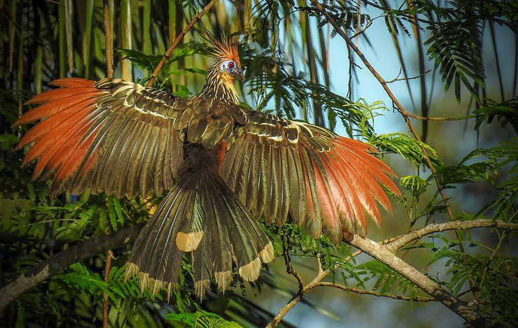 hoazin huppe opisthocomus hoazin fiche oiseaux animaux hoatzin fact