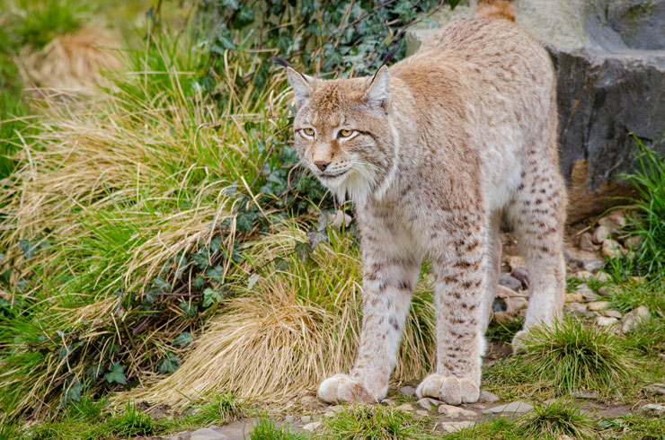 lynx boreal fiche animaux felins animal facts european lynx