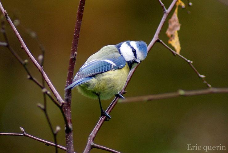 les oiseaux de nos jardins la mésange bleue