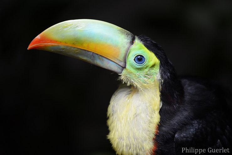 liste des animaux d'amazonie toucan a carene animal fact bird list amazonian forest