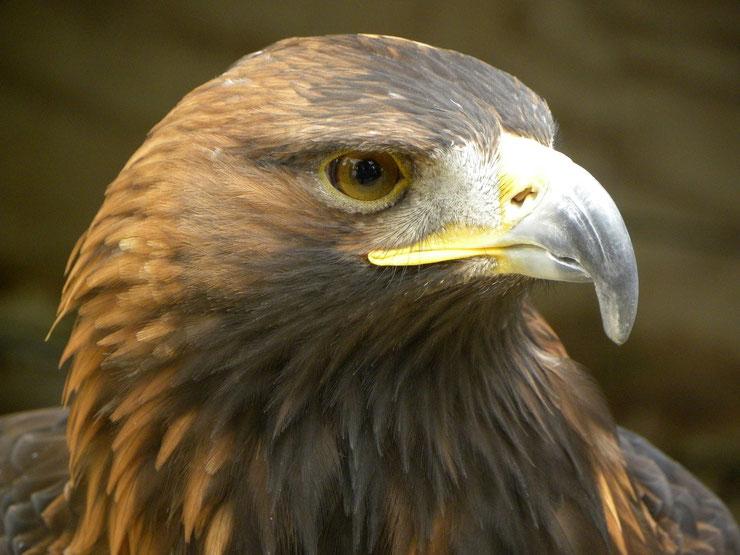 liste animaux emblematiques embleme pays egypte aigle royal