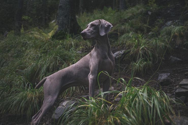 liste des races de chiens braque de weimar