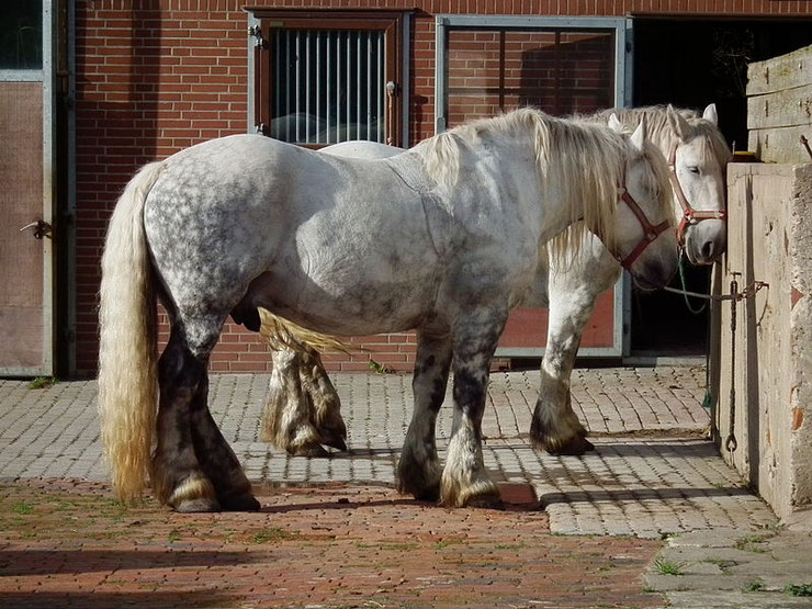 cheval percheron fiche chevaux comportement origine caractere