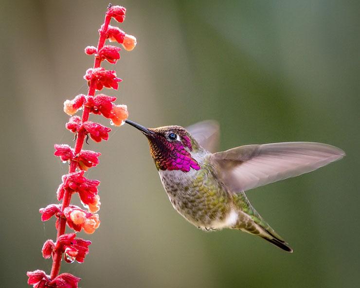 colibri d'anna fiche oiseaux animaux poids taille habitat distribution oiseau mouche