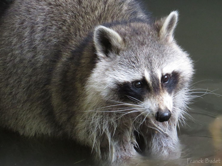 animaux canada quebec raton laveur racoon