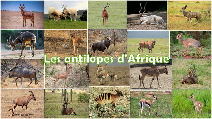 antilopes afrique animaux sauvages