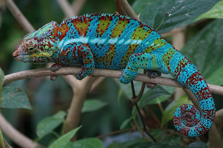 cameleon panthere fiche reptile animaux