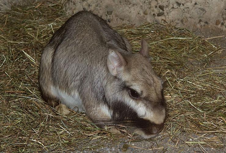 viscache des plaines fiche animaux animal facts plains viscacha