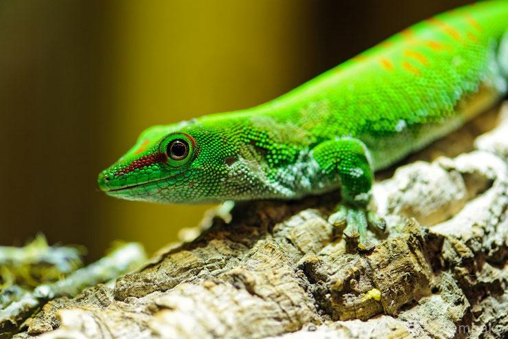 animaux madagascar gecko geant