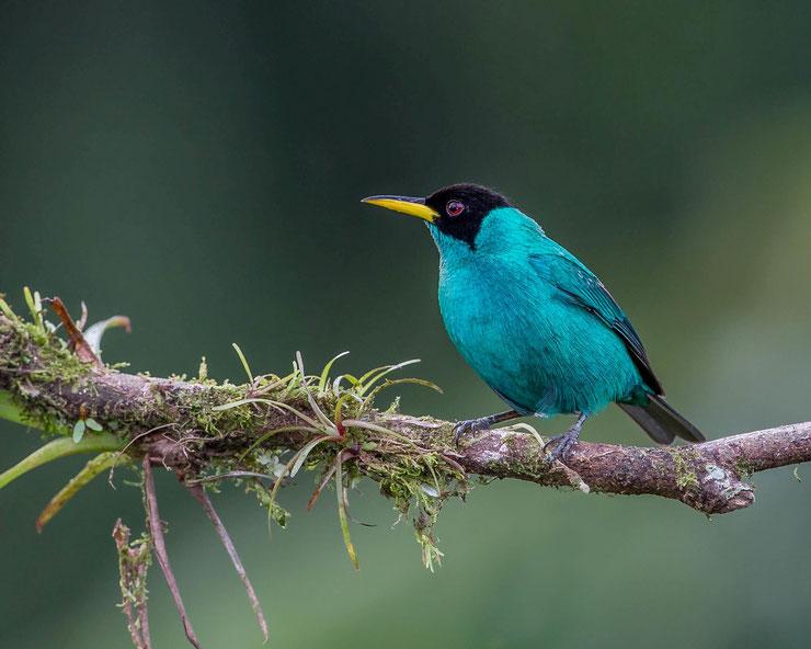 tangara emeraude fiche oiseaux animaux amerique du sud animal bird fact green honeycreeper