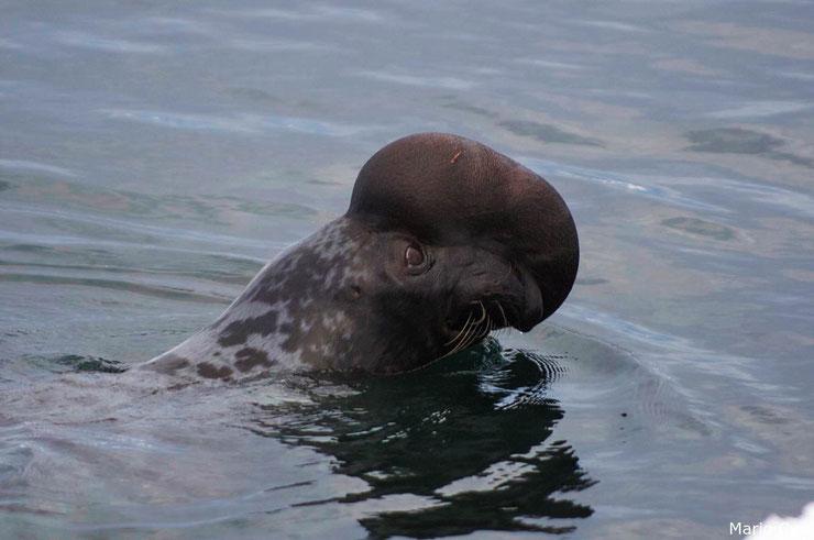 phoque a capuchon male fiche animaux mammifere marin