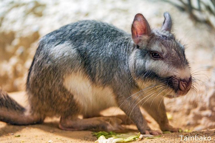 fiche animaux viscache des plaines taille poids habitat distribution longevite