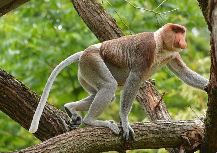 nasique fiche animaux singe animal par N