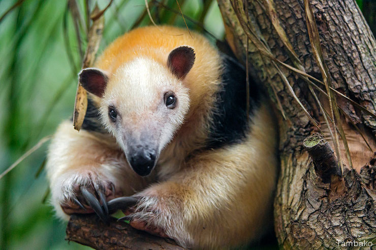 liste des animaux d'amazonie tamandua