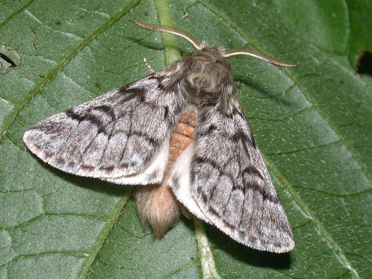 papillon processionnaire pin insectes ravageurs
