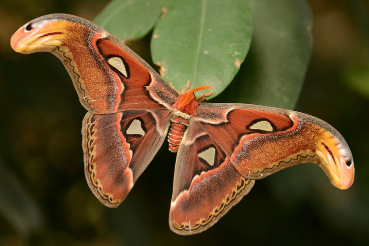 attacus atlas fiche papillon insectes animaux animal facts insects butterfly atlas moth