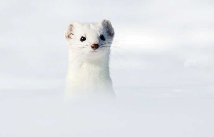 hermine blanche white stoat