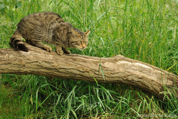 fiche animaux chat sauvage foret