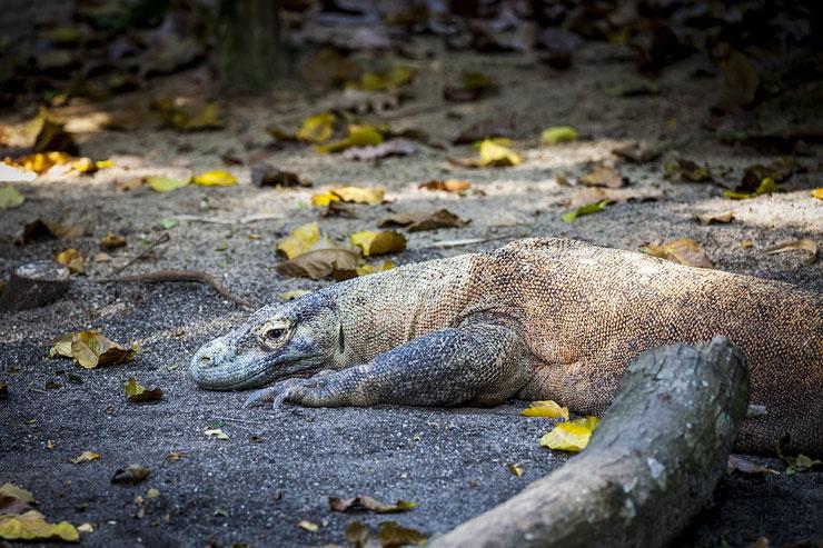 dragon de komodo fiche reptile animaux
