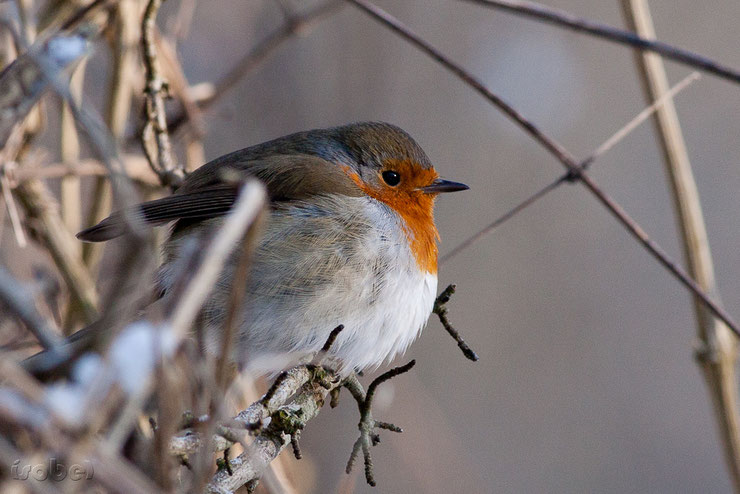 les oiseaux de nos jardins le rouge gorge