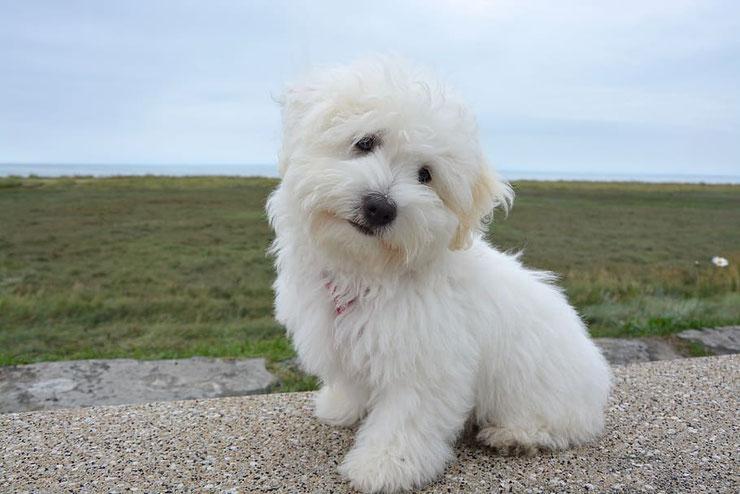 coton de tulear fiche chien animaux  caractere comportement origine poil couleur