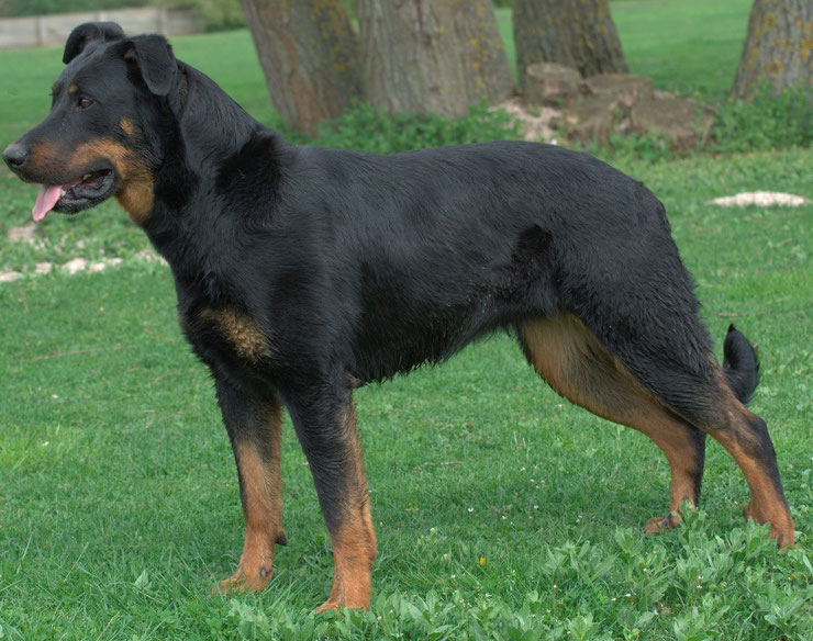 beauceron berger de beauce fiche chien animaux shepherd animals facts dog