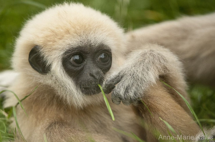 bebe singe gibbon a mains blanches animaux mignons cute animals monkey baby