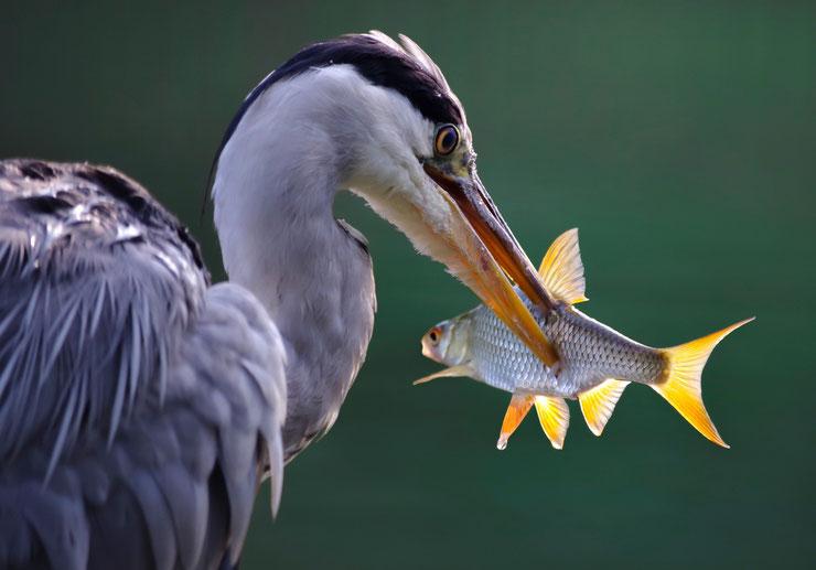 heron cendre mangeant un poisson bec fiche oiseaux animaux