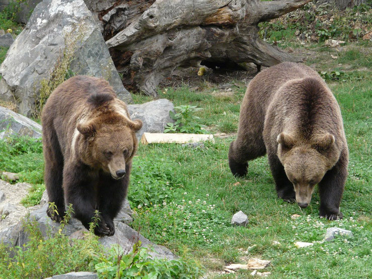 ours brun fiche animaux
