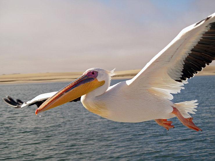 pelican blanc plus gros oiseaux du monde volant
