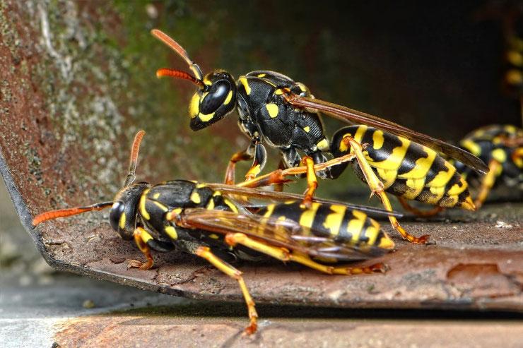 guepe insectes hymenotpère jardin nid