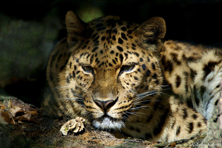 panthere leopard de l'amour fiche animaux felins animal fact amur wildcat
