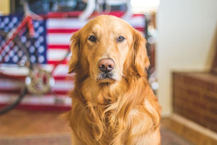 golden retriever fiche chien animaux caractere comportement origine poil couleur