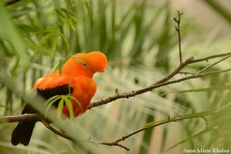 liste des animaux d'amazonie coq de roche animal fact bird amazonian forest list