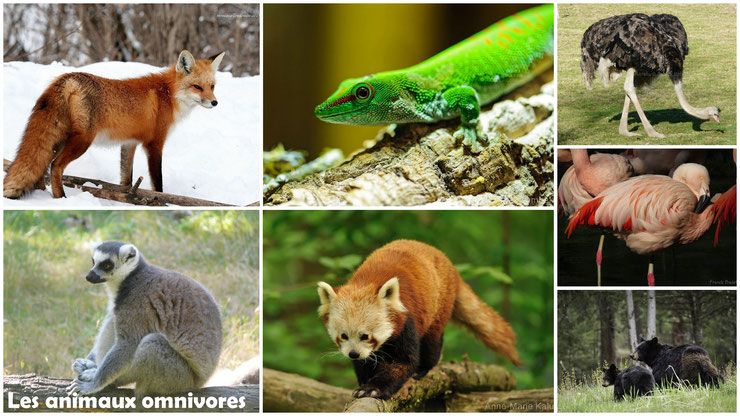 animaux omnivore régime alimentaire renard ours noir autruche maki catta