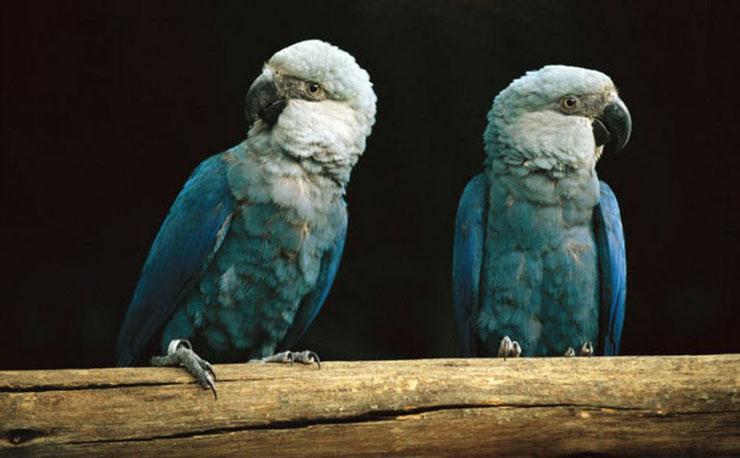 ara de spix fiche oiseaux animaux heros de rio le perroquet bleu animal facts bird rio