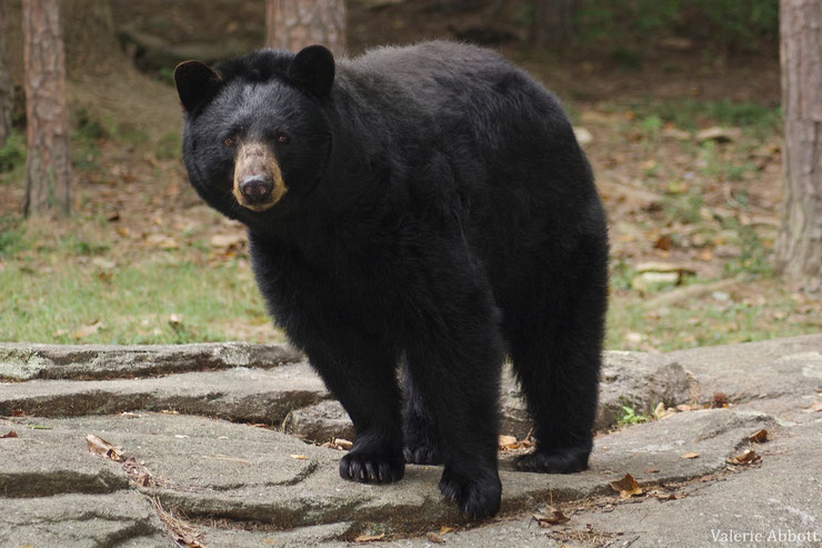 ours brun baribal fiche animaux animal canada quebec  facts black bear