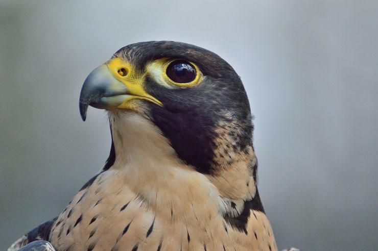 faucon pelerin fiche oiseaux animaux