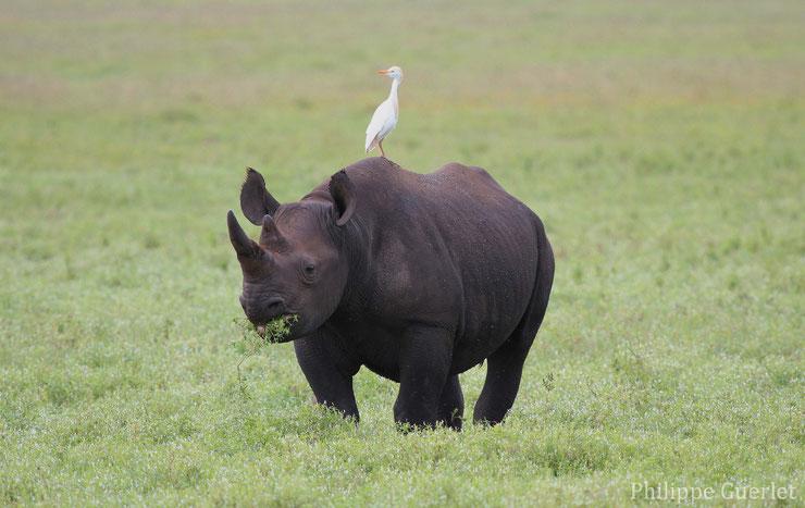 fiche animaux rhinoceros noir black rhino