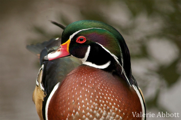 animaux canada quebec canard branchu carolina wood duck