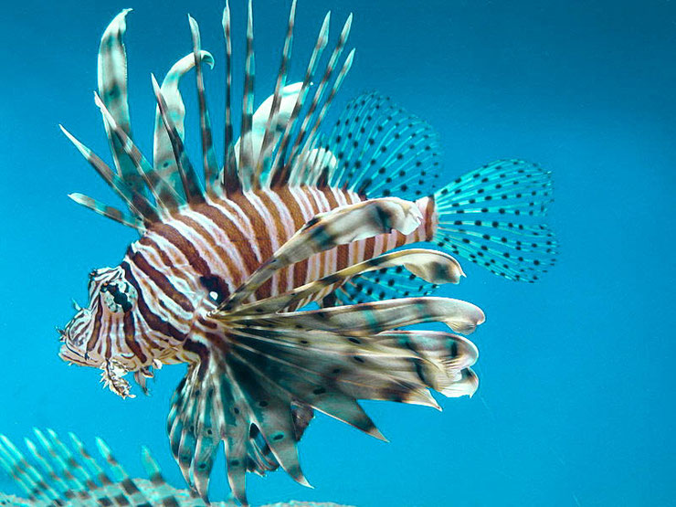 rascasse volante fiche identification poisson eau de mer animaux marins red lionfish fish fact